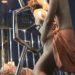 【無修正・中出し】ベルトで緊縛されギャグボール咥えさせられ犯される妻!バックからチンポぶち込まれピストンされてマンコに精子中出しされる妻!B1 by erono-tetsugaku6